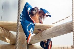 Orangutan_Denver Zoo