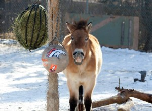 No, that's not John Elway. That's one of the pzalski horses at Denver Zoo. Below, an orangutan shows off his Denver Broncos spirit. (Denver Zoo Facebook photos)